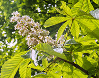 Blossoming chestnut tree Stock Images