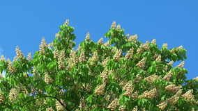 Blossoming chestnut tree stock video footage