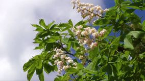 Blossoming chestnut tree in spring stock video