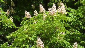 Blossoming chestnut stock video footage