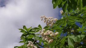 Blossoming chestnut tree in spring stock footage