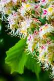 Blossoming chestnut tree in spring, close-up. Blossoming chestnut tree in spring, close up Royalty Free Stock Photo