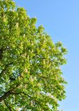 Blossoming chestnut tree. Royalty Free Stock Photos