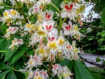 Blossoming chestnuts closeup Stock Photos