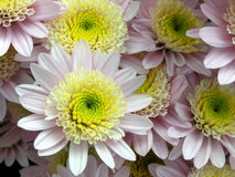 Blossoming chrysanthemum Royalty Free Stock Photos