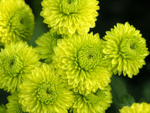 Blossoming chrysanthemum Stock Image