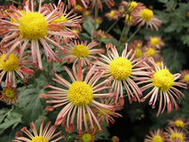 Blossoming chrysanthemum Royalty Free Stock Photography