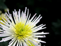 Blossoming chrysanthemum Stock Photo
