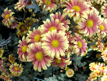 Blossoming chrysanthemum Stock Photography