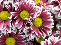 Blossoming chrysanthemum Royalty Free Stock Images