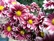 Blossoming chrysanthemum Stock Photos