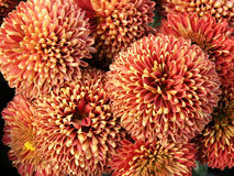 Blossoming chrysanthemum Stock Images