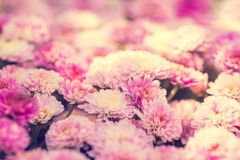 Blossoming chrysanthemum flowers in the garden Stock Images