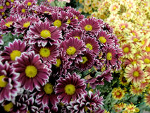 Blossoming chrysanthemums Royalty Free Stock Images