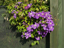 Blossoming clematis on a green fence Stock Images