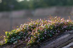 Blossoming clibmer plant on the fortress wall stock photography
