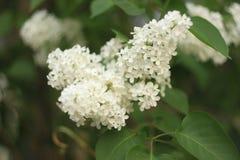Blossoming сорт растения белизны куста сиреней общего Syringa vulgaris Ландшафт весеннего времени с пуком нежных цветков Лилия стоковые фотографии rf