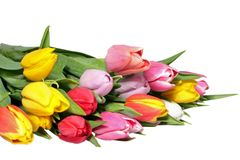 Blossoming colorful tulips Royalty Free Stock Photo