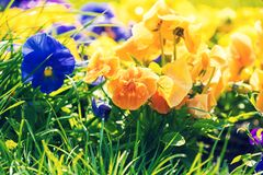 Blossoming colorful viola flowers Stock Photo