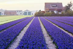 Blossoming colourful field of violet hyacinth flowers in the evening during the spring, Holland, Netherlands stock photos