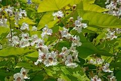 The blossoming common catalpa Catalpa bignonioides Walter.  Stock Images