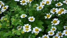 Blossoming common daisy floweron the flowerbed. footage stock video footage