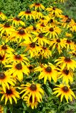 Blossoming of a coneflower hairy Rudbeckia hirta L.. Background. Blossoming of a coneflower hairy Rudbeckia hirta L. Background royalty free stock photos