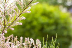 Blossoming of conifer Royalty Free Stock Images