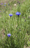 Blossoming cornflowers. In the field Royalty Free Stock Photos