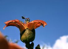 Blossoming cotton tree (Bombax ceiba) Royalty Free Stock Photography