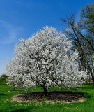 Blossoming Crab Apple Tree Royalty Free Stock Photography