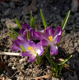 Blossoming crocus Crocus L. grows in a garden Stock Images