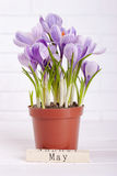 Blossoming crocus with a sign. Flower with wooden calendar. May day royalty free stock photography
