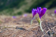 Blossoming crocuses. The first flowers - Crocuses. Blossom, as soon as snow descends. The picture is made in mountains Carpathians, Ukraine. Spring royalty free stock photography