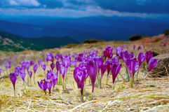 Blossoming crocuses. The first flowers - Crocuses. Blossom, as soon as snow descends. The picture is made in mountains Carpathians, Ukraine. Spring royalty free stock photos