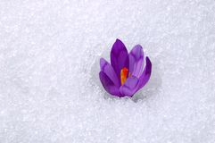 Blossoming crocuses Stock Image