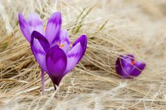 Blossoming crocuses Stock Photo