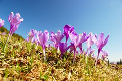 Blossoming crocuses Stock Images