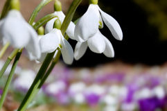Blossoming crocuses and snowdrops royalty free stock images