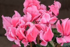 Blossoming cultivated plant pink cyclamen Stock Photos