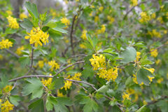The blossoming currant golden Ribes aureum Pursh. Stock Photography