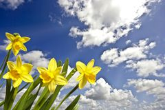 Blossoming daffodils and a blue sky Stock Images