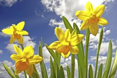 Blossoming daffodils and a blue sky Royalty Free Stock Photography