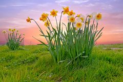 Blossoming daffodils in the countryside from the Netherlands. At sunset Stock Images