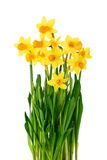 Blossoming daffodils isolated on white Royalty Free Stock Photos