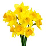 Blossoming daffodils isolated on white Stock Photo