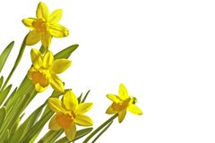 Blossoming daffodils on a white background Royalty Free Stock Photography
