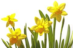 Blossoming daffodils on a white background. In springtime Stock Images