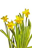 Blossoming daffodils on a white background Stock Photo