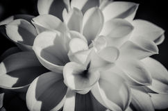Blossoming dahlia monochrome. Blossoming dahlia flower detail monochrome Royalty Free Stock Photos